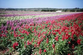 California Highway 1 - Lompoc Flower Fields